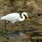 QC - Deb Halberstadt - 3 - Wild Egret Fishing Cal Tech